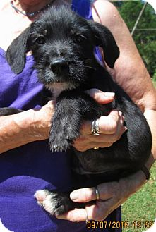 Wirehaired Pointing Griffon/Labrador Retriever Mix Puppy for adoption in Oswego, New York - MICK