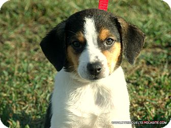 Border Collie/Beagle Mix Puppy for adoption in parissipany, New Jersey - MOLLY