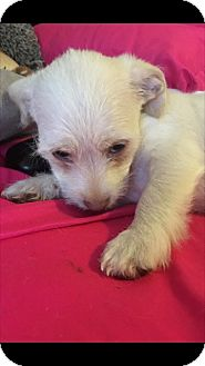 Terrier (Unknown Type, Small) Mix Puppy for adoption in Las Vegas, Nevada - Wrangler