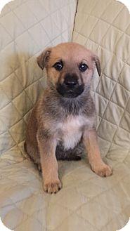 German Shepherd Dog Mix Puppy for adoption in New Oxford, Pennsylvania - Sandra