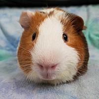 Adopt A Pet :: Basil - Harleysville, PA