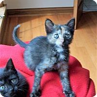 Adopt A Pet :: C.C. - Adorable! Born May 20 - Taylor Mill, KY