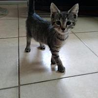 Adopt A Pet :: Taro - Land O Lakes, FL