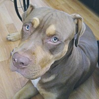Adopt A Pet :: Browney - Courtesy - Rochester, NY