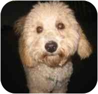 Bichon Frise/Poodle (Miniature) Mix Dog for adoption in Boca Raton, Florida - Teddy