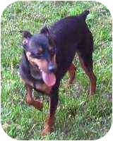 Miniature Pinscher Dog for adoption in Florissant, Missouri - Dillon