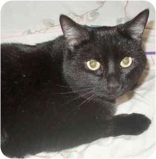 Domestic Shorthair Cat for adoption in Colmar, Pennsylvania - Louise