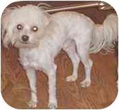 Bichon Frise/Chihuahua Mix Puppy for adoption in Albuquerque, New Mexico - Jasper