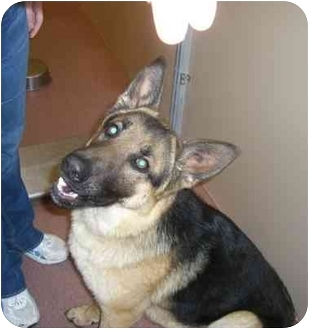 German Shepherd Dog Puppy for adoption in Hamilton, Montana - Weber