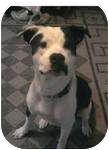 Boxer/St. Bernard Mix Dog for adoption in McArthur, Ohio - PATCHES