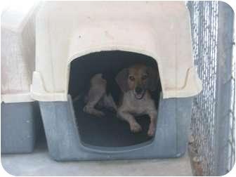 Beagle Mix Dog for adoption in Henderson, North Carolina - Flow