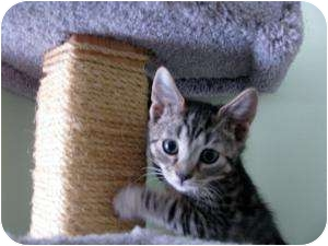 Domestic Shorthair Kitten for adoption in Trenton, New Jersey - Porky (Adopted)