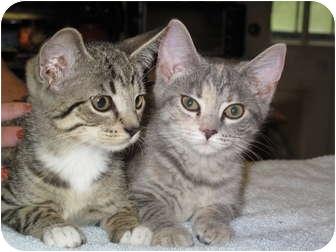 Domestic Shorthair Kitten for adoption in Port Republic, Maryland - Missy