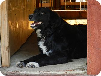 Border Collie Mix Dog for adoption in Lawrenceburg, Tennessee - Lady