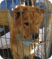 Chow Chow Mix Dog for adoption in Las Vegas, Nevada - Simba-N***
