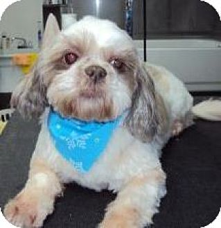 Shih Tzu Mix Dog for adoption in Homer, New York - Chloie
