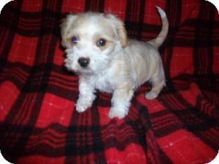 Schnauzer (Miniature)/Spaniel (Unknown Type) Mix Puppy for adoption in Tustin, California - Skittles