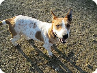 Corgi/Basset Hound Mix Dog for adoption in Starkville, Mississippi - Penny