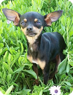 Miniature Pinscher/Chihuahua Mix Puppy for adoption in Poway, California - Mouse