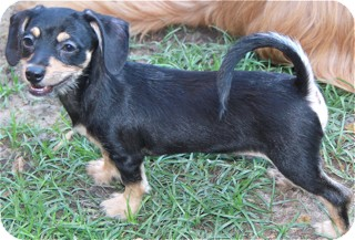 Terrier (Unknown Type, Small)/Dachshund Mix Dog for adoption in Norwalk, Connecticut - Chuck Berry