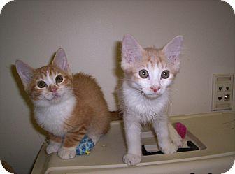 Domestic Mediumhair Kitten for adoption in Pineville, North Carolina - Tigger & Peachy