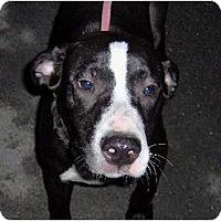 Adopt A Pet :: Bo - Accord, NY