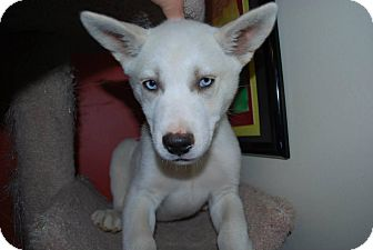 Siberian Husky Mix Puppy for adoption in New Oxford, Pennsylvania - Shiloh