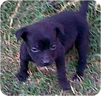 Labrador Retriever/Rottweiler Mix Puppy for adoption in dewey, Arizona - Bella