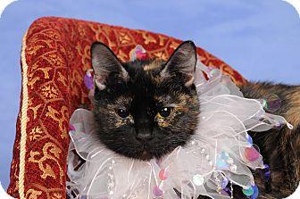 Domestic Shorthair Cat for adoption in mishawaka, Indiana - Paisley