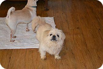 Pekingese Dog for adoption in Belton, South Carolina - Sneeze