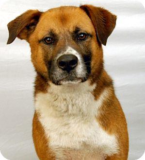 Boxer/St. Bernard Mix Dog for adoption in Newland, North Carolina - Rusty