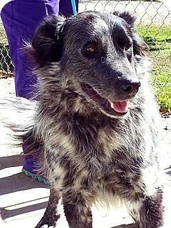 Border Collie Mix Dog for adoption in Allen, Texas - #20 Cadderly