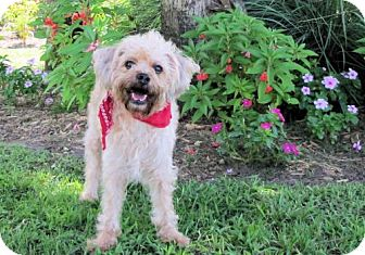 Poodle (Miniature)/Terrier (Unknown Type, Medium) Mix Dog for adoption in Port St. Joe, Florida - Dandy