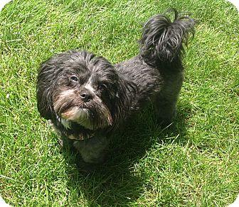 Maltese/Shih Tzu Mix Dog for adoption in Lincolnwood, Illinois - Lexi