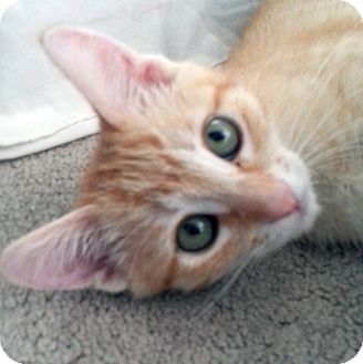 Domestic Shorthair Kitten for adoption in Irvine, California - Princess