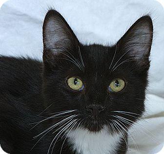 Domestic Shorthair Cat for adoption in Sacramento, California - Buzz M
