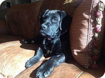 Labrador Retriever Mix Puppy for adoption in Phoenix, Arizona - Ivy