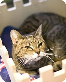 Domestic Shorthair Cat for adoption in West Des Moines, Iowa - Posey