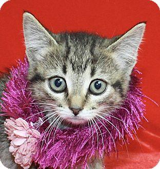 Domestic Shorthair Kitten for adoption in Jackson, Michigan - Rita