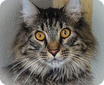 Domestic Mediumhair Cat for adoption in Webster, Massachusetts - Zeus