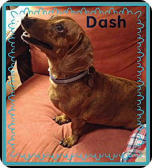 Dachshund Dog for adoption in Green Cove Springs, Florida - Dash