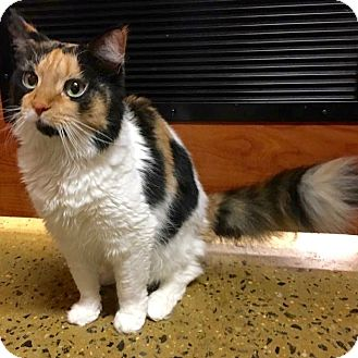 Maine Coon Cat for adoption in Long Beach, New York - Cali Ann