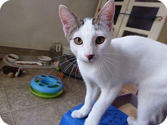 Domestic Shorthair Kitten for adoption in Mission Viejo, California - Atticus