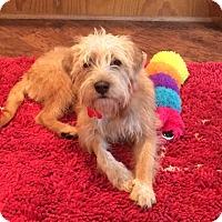 Adopt A Pet :: Webster - Norwalk, CT