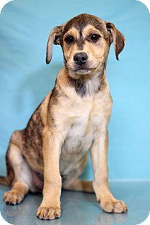 Shepherd (Unknown Type) Mix Puppy for adoption in Waldorf, Maryland - Dancer