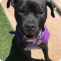 Adopt A Pet :: Boss - Allen, TX
