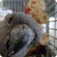 Adopt A Pet :: Robin - Grandview, MO