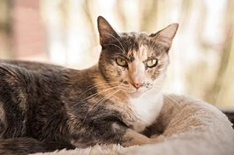 Domestic Shorthair Cat for adoption in Palm Springs, California - Peaches