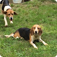 Adopt A Pet :: Viola - Dumfries, VA