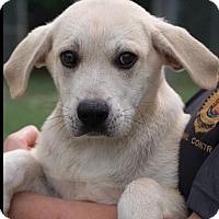 Adopt A Pet :: Goldie Pup - Pompton Lakes, NJ